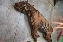 Běloruská policie zajistila nelegální transport s deseti tygry