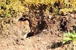 Hraboš polní - Ilustrační foto