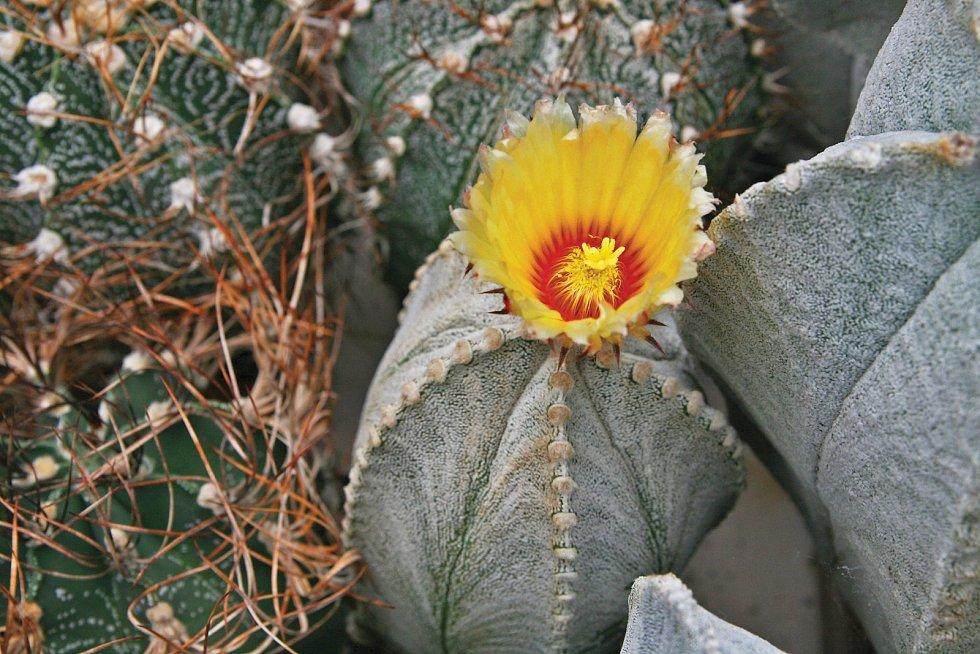 Kvetoucí Astrophytum