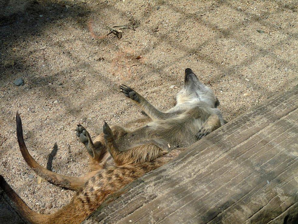 Faunapark v Horní Lipové chová také surikaty