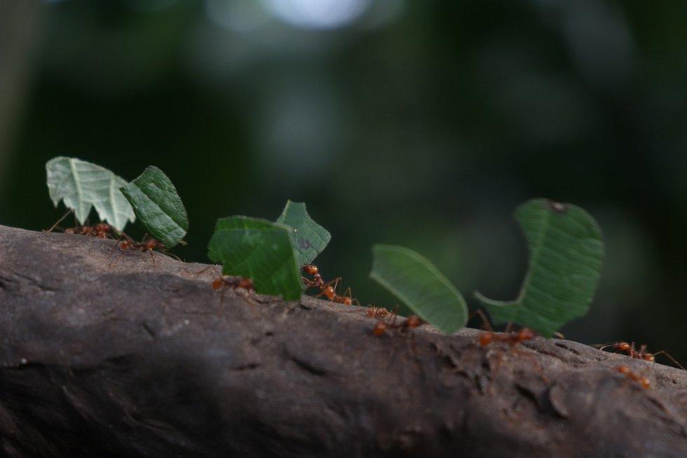 Mravenci pěstují na kompostu z pečlivě vybraných listů druh houby, který si sami vyšlechtili.