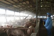 Pracovník farmy na Tajvanu dezinfikuje prasata. Ilustrační foto