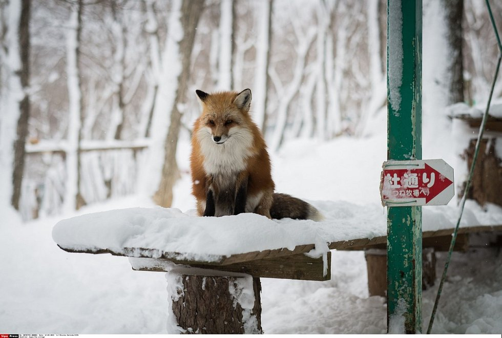 V rezervaci Zao Fox žije víc než stovka lišek šesti druhů