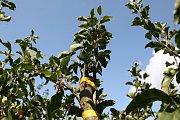 Roubování stromů s Láďou Hruškou