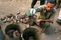 Přes 160.000 krys za 12 měsíců zabil jistý farmář z Bangladéše, kterému tak jeho nasazení vyneslo titul nového národního šampiona. Ilustrační foto.