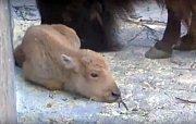 Mládě bílého bizona Dusanka
