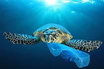 Želvy si často pletou plastové pytlíky s rybami. Následky jsou pro ně fatální.