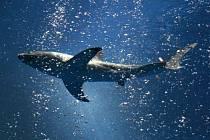 Žralok bílý. Ilustrační snímek