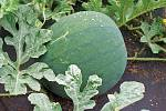 Sazenice by měly růst vdobrém kompostu nebo vorganické hmotě svysokou zásobou živin.