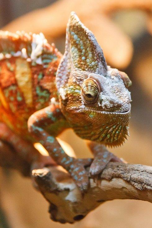 Chameleon dokáže změni barvu během pouhých tří vteřin.