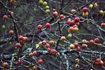 Planá jablka na stromě po prvním ranním mrazu