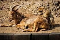 Opice čistí kožich kopytníkovi.