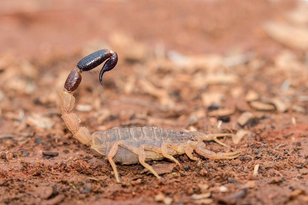 Štíři se v australské přírodě hojně rozšířili.