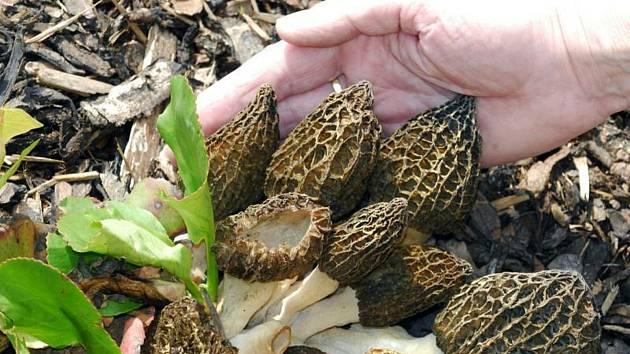 Smrže špičaté, jedlé a velmi chutné jarní houby (na snímku z 24. dubna 2007)