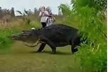 Obří aligátor turisty pořádně vyděsil