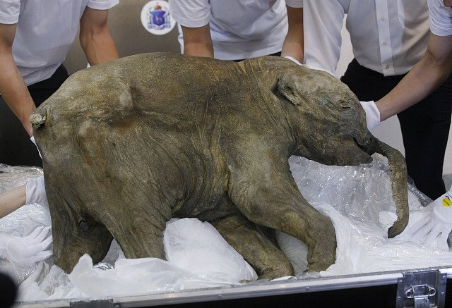 Mládě mamuta