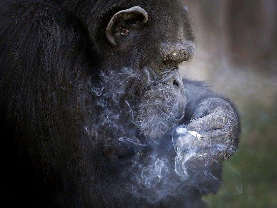 Cigarety si opice zapaluje sama. Stačí, když jí pracovník zoo hodí zapalovač. Pokud zapalovač není zrovna po ruce, dokáže si připálit i ze zapálené cigarety.