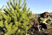 Plantáž vánočních stromků. Ilustrační foto.