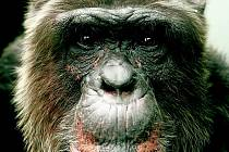 Šimpanz Hiasl