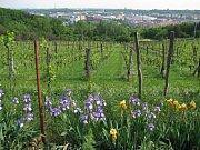 Vysočanská vinice Máchalka v Praze