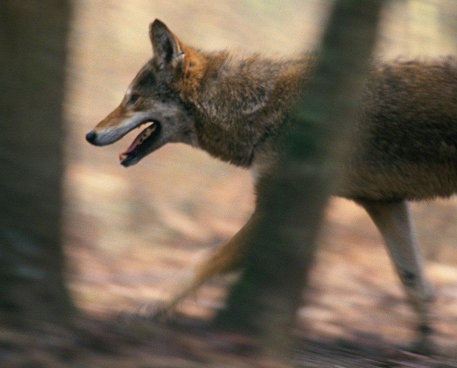Vzácný a chráněný vlk rudohnědý.