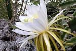 Jamajský kaktus Hylocereus triangularis