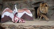 Lev berberský Šimon slaví desáté narozeniny.