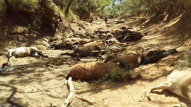 Vysoké teploty v Austrálii zahubily desítky divokých koní