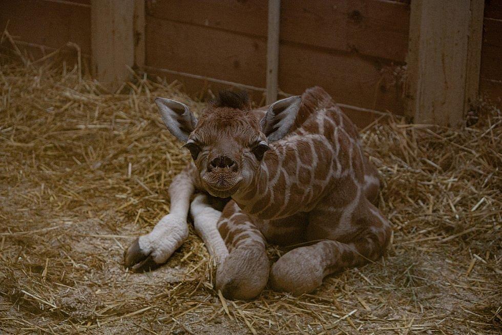 Žirafa Rothschildova, ZOO Liberec