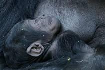 Gorila Kijivu drží v náručí šestidenní mládě v pražské zoologické zahradě. Ve čtvrtek byl poprvé pavilon otevřen pro veřejnost.