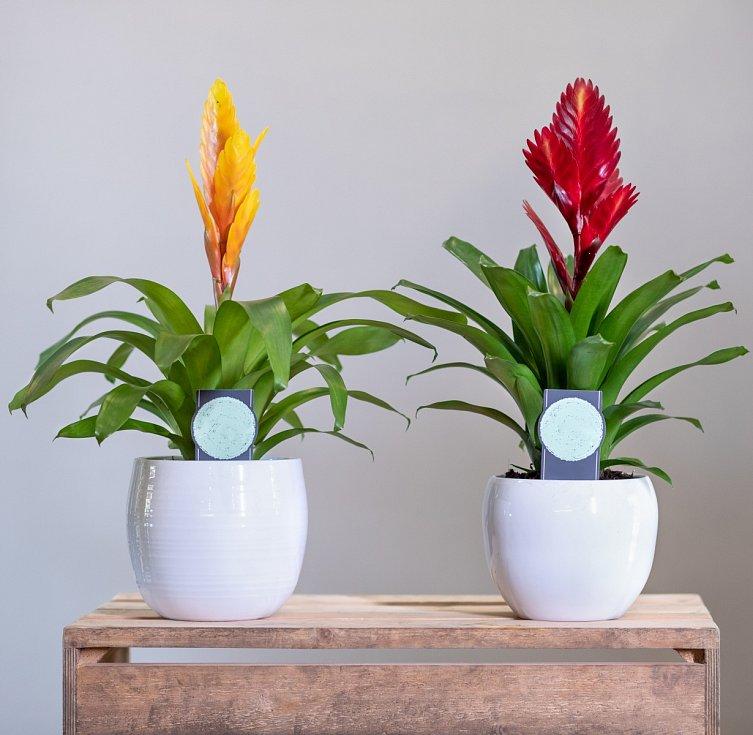 Pěstovat bromélie zvládne i začátečník. Stačí, když květinám dopřejete teplotu nad dvacet stupňů. A pozor na průvan.