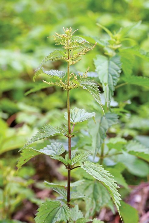 Roste jako plevel vpříkopech, na mýtinách avpolostínu na neudržovaných zahradách.