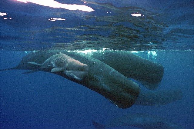 Co tvoří komunikační jednotky velryb? Mají slova? Věty? A pokud ano, tak i gramatiku a syntax? A jak se mění jejich řeč v závislosti na okolnostech?