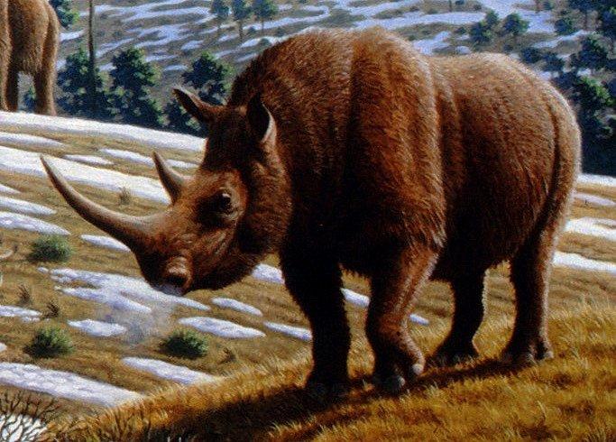 Nosorožec srstnatý (Coelodonta antiquitatis) obýval Evropu a Asii v období pozdního pleistocénu. V době před 14 tisíci lety se nacházel už těsně před vyhynutím