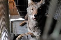 Kojot. Ilustrační snímek