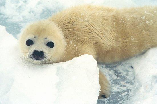 České předsednictví vyjednalo zákaz tuleních produktů do EU