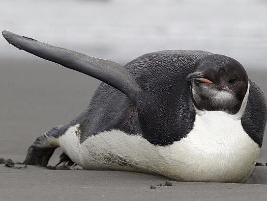 Zbloudilý tučňák císařský.