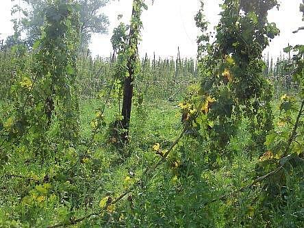 Při čtvrteční bouřce a vichřici padlo na Rakovnicku sto hektarů chmelnic