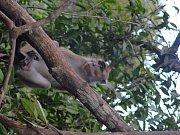 Makakové zlidí strach nemají. Naopak, koukají, co by si od nich mohli přivlastnit.