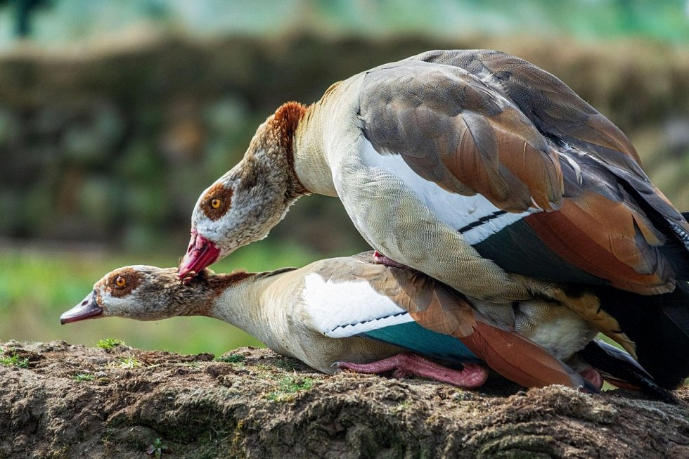 Ptáci se často páří takzvaným kloakálním polibkem