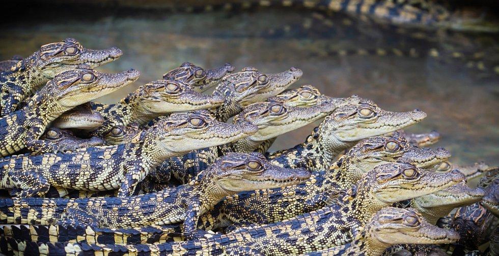 Krokodýli