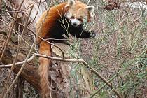 Panda červená. Ilustrační foto.