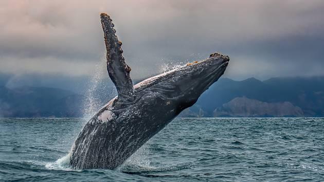 Velryby nám doslova z hlubin moří pomáhají regulovat pozemskou teplotu.