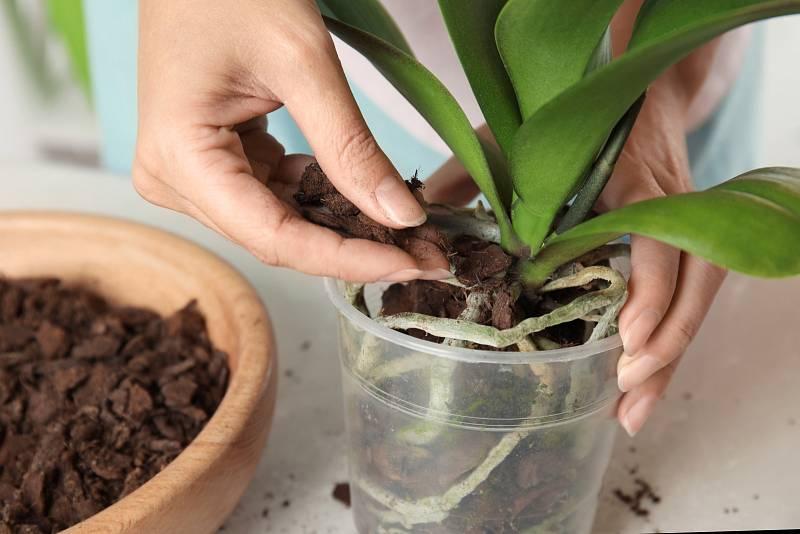Rostliny zároveň potřebují pěstování ve speciálním substrátu, jehož základem je drcená kůra, dalším složkou bývá mech Sphagnum a kokosová vlákna.