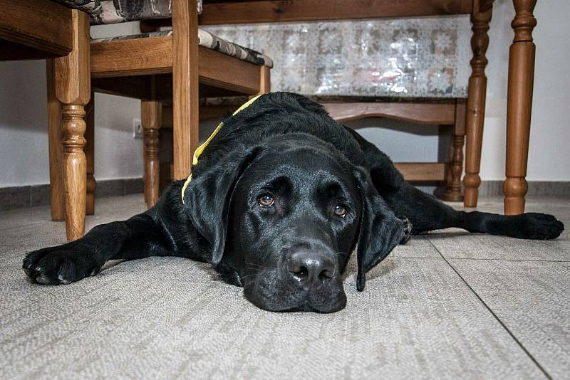 Společnost Pomocné tlapky, která se zabývá chovem a výcvikem asistenčních psů, pomáhá také klientům s prvotním setkáním a seznamováním. Na snímcích se seznamuje vycvičený labrador Andy se svou novou budoucí majitelkou paní Jarkou Machovou.