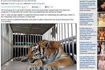 Chirurgové v USA vyoperovali z žaludku 180 kilogramů vážícího tygra obří kouli z chlupů, které se nedokázal sám zbavit.
