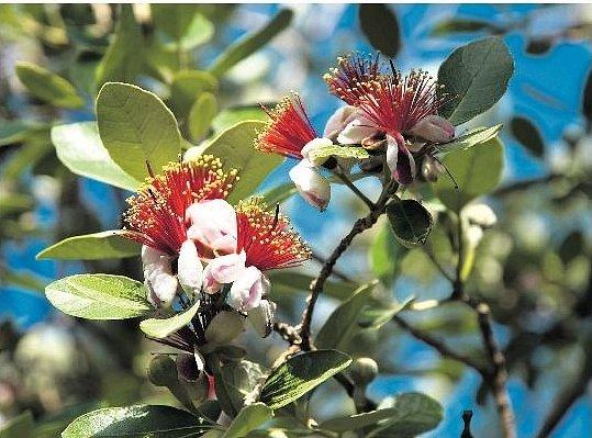 V KVĚTU. Rostlina pojmenovaná po portugalském botanikovi má ráda kyselou půdu.