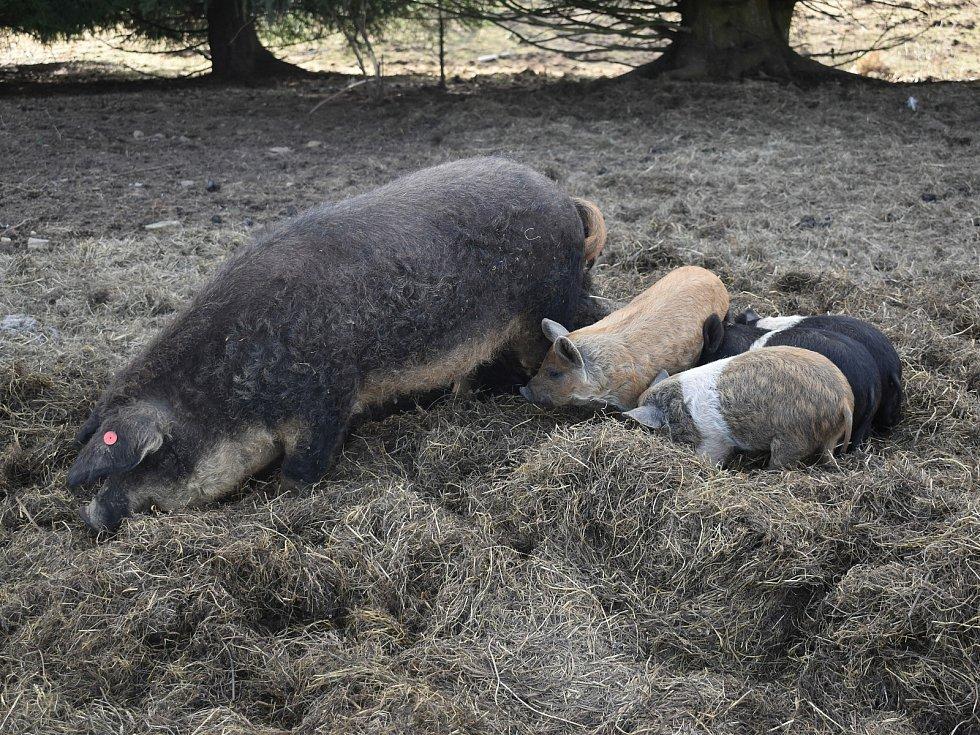 Miloslav Puchta u výběhu prasat, kde vlci zabili deset podsvinčat. Na drátech je vidět vlčí srst.
