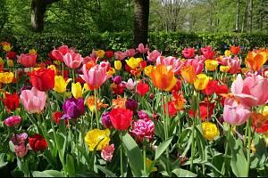 Pokud chcete mít na jaře krásnou zahradu plnou rozkvetlých tulipánů, je třeba je zasadit již na podzim.