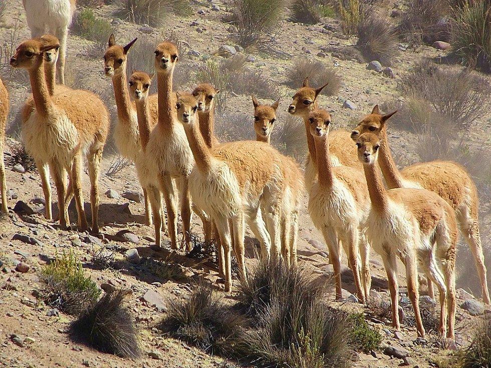 Skupina divokých vicun v Peru. Tato zvířata žijící ve vysokých Andách tvořila v pravěku důležitou součást jídelníčku tehdejších lidí